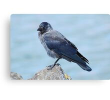 Young Jackdaw Canvas Print