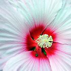 White Platter Hibiscus Flower by vette