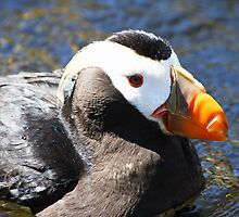 Pacific Coast Puffin by SKNickel