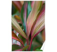 Maui Variegated Red Ti Poster