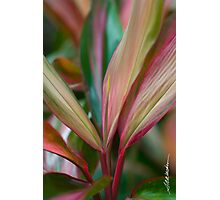 Maui Variegated Red Ti Photographic Print