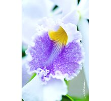 Maui Cattleyas Orchid  Photographic Print