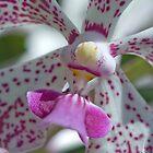 Maui Dendroblum Orchid  by Susan R. Wacker