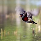 Wood duck takes flight by Jim Cumming