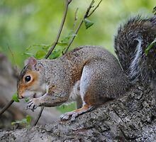A Greedy Squirrel by Dorothy Thomson