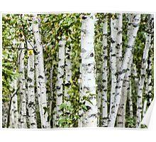 Paper Birch Poster