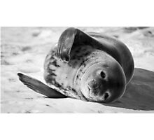 Cuddly Seal Photographic Print