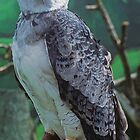 Harpy Eagle by Rick Montgomery