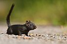 Black Eastern Chipmunk 2 - Ottawa, Ontario by Michael Cummings