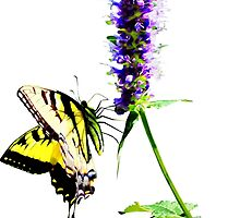 Tiger Swallowtail on Purple Salvia by Susan Savad