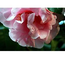 Crying Camellia Photographic Print