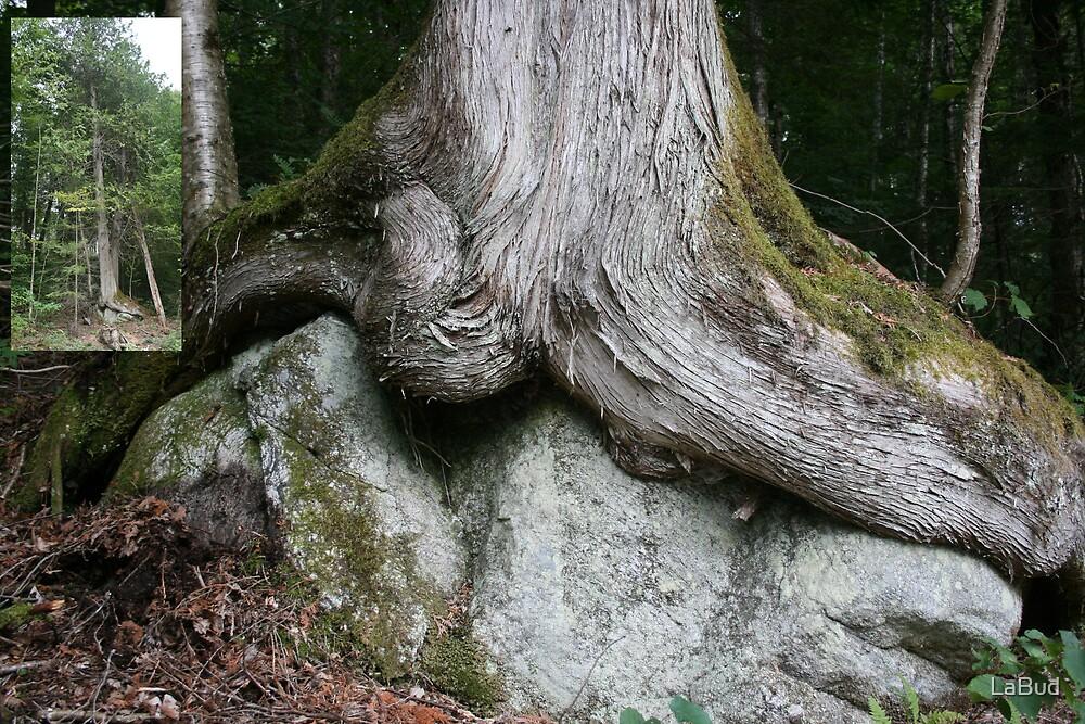 Old Red Cedar on a Rock by LaBud