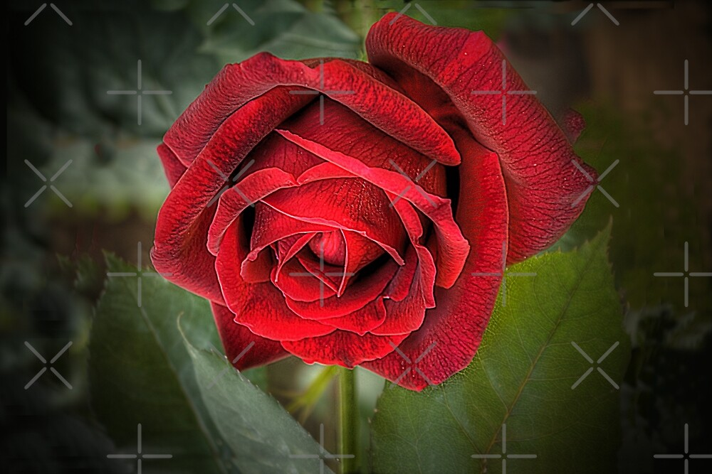 A Red, Red Rose by Elaine Teague