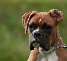 """""""Beautiful Boxer"""" by Fiona Boundy"""