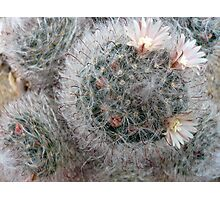 Silky Soft Cactus Flowers Photographic Print