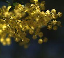Golden Wattle by Araya Sununkingpet