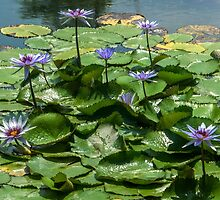Cluster of Water Lilies and Lily Pads by dm-photography