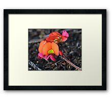 Flame Pea Framed Print