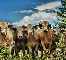 Posing Cows by Leasha Hooker