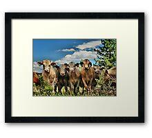 Posing Cows Framed Print