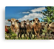 Posing Cows Canvas Print