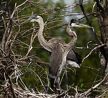 Great Blue Heron Nest Mates by Gail Falcon