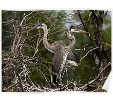 Great Blue Heron Nest Mates Poster