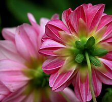 Dahlia by Indrani Ghose