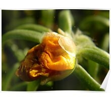 Withered Portulaca Poster