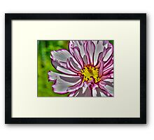 Pink and white flower on a summers day Framed Print