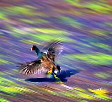 A Common Moorhen in flight by Ann Reece