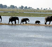 A group of Elephants at Chobe by Paul Watkins