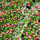Berries, Berries, Everywhere by Lynne Morris