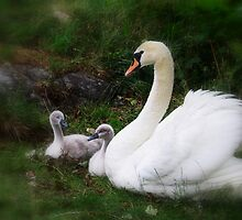 Swan mother and babies by M. Mersland