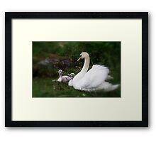 Swan mother and babies Framed Print