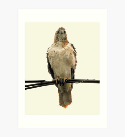 The Red-Tail Hawk (Female) Art Print