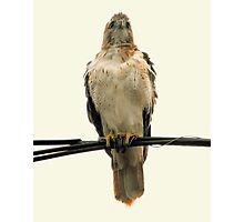 The Red-Tail Hawk (Female) Photographic Print