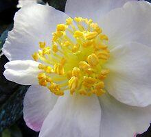 White Camellia on Spot by sstarlightss