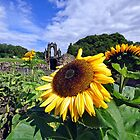 Sun flower @ Guisborough Priory by robwhitehead