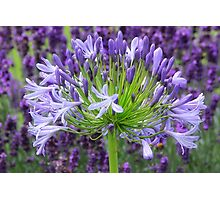 Agapanthus also known as the African Blue Lilly Photographic Print