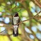 Humming Bird by Beatriz  Cruz