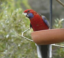 Bright parrot in Canberra by Kiriel