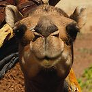 Cute camel by Euphemia