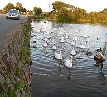 """Swan Lake""nr.Killeagh,Cork Road,Co.Cork,Ireland. by Pat Duggan"