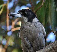 Grey Butcher Bird by petejsmith