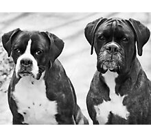 Portrait of 2 boxers -Boxer Dogs Series- Photographic Print