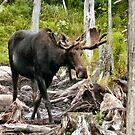 Bull Moose In Velvet by mooselandtours
