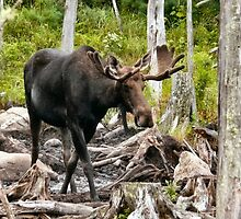 Bull Moose In Velvet by mooselandtours