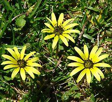 Sunflower by tanikaye