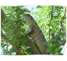 Sonoran Spiny-tail Iguana  ~ Juvenile Poster